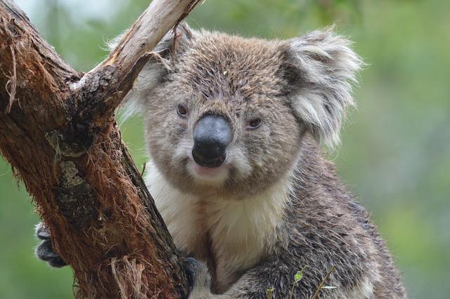 Koala, Australia, Marsupial, Tree, Nature, Animal