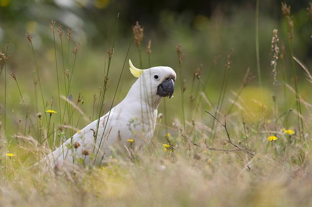 Australia, Bird, Cockatoo, Nature