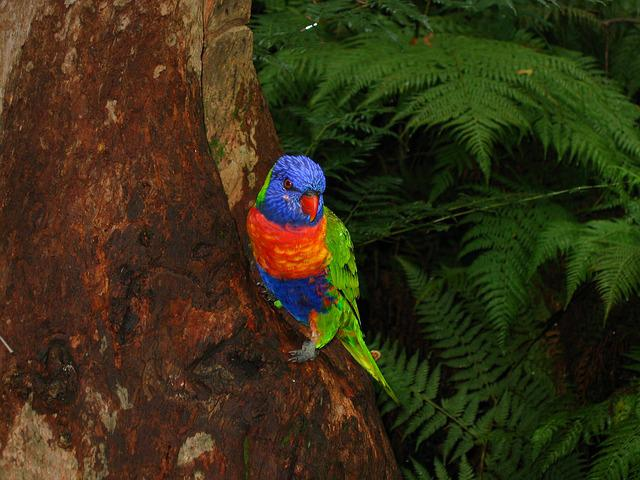 Lorikeet, Australia, Bird, Colorful, Rainforest