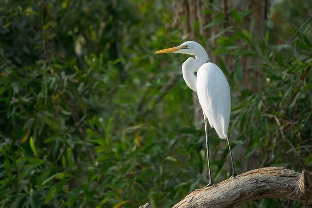 Australia, Northern Territory, Birds, Egret White Heron