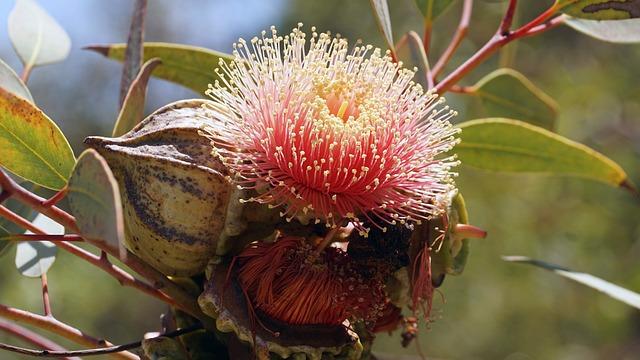 Eucalyptus Bloom, Australia, Koale