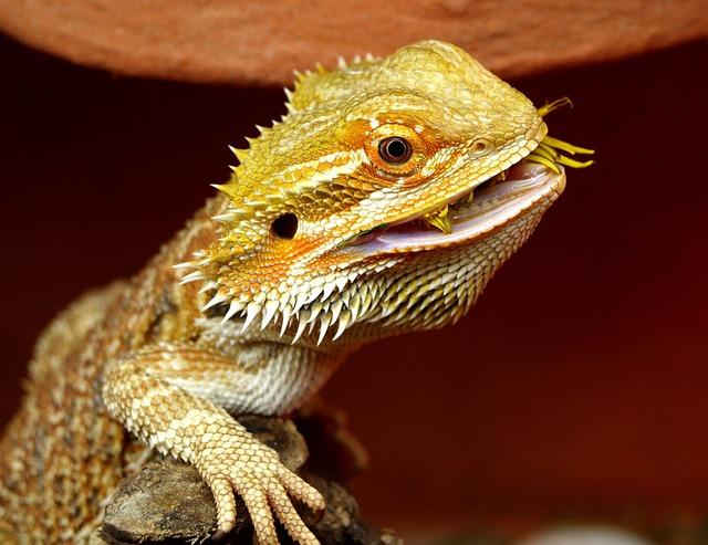 Bearded Dragon, Australia, Lizard, Animals