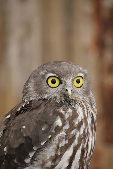 Owl, Australian Owl, Australia, Wildlife, Beak, Staring