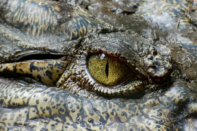 Crocodile, Eye, Animal, Nature, Reptile, Australia