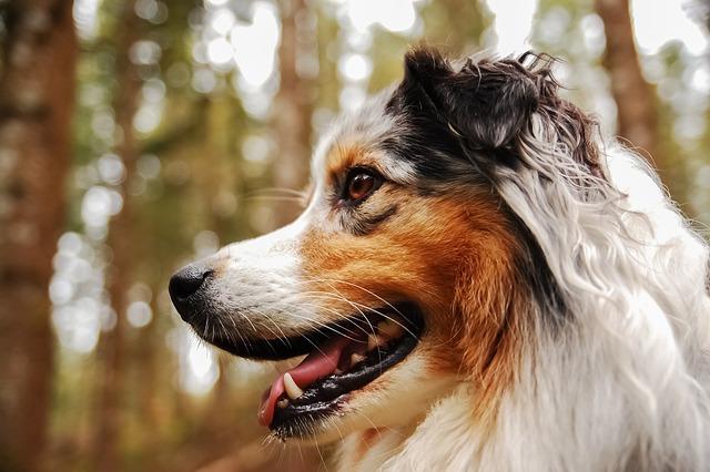 Dog, Berger, Australian, Australian Shepherd