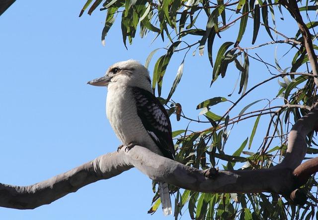 Australian, Kookaburra, Bird