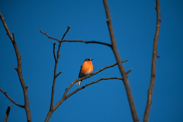 Flame Robin, Male, Bird, Avian, Australian, Australia