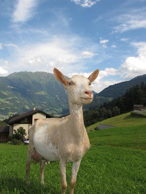 Goat In Austria, Austria, Goat