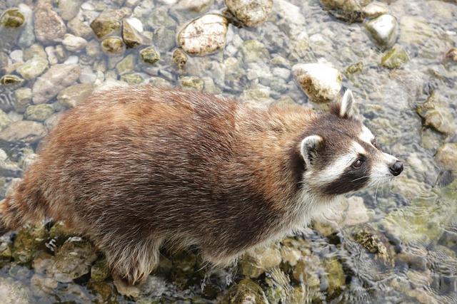Raccoon, Wildlife Park, Tierpark Berlin-grünau, Austria