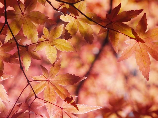 Autumnal Leaves, Autumn, Aomoriya, Star Resort, Maple