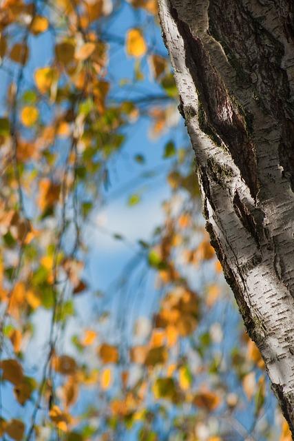 Autumn, Tree, Birch, Fall Foliage, Sky, Blue, Leaf