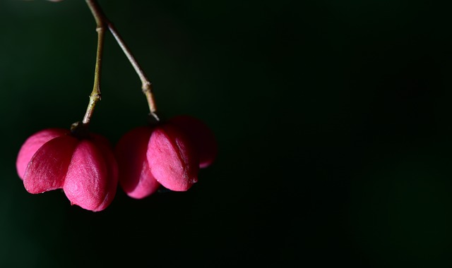 Spindle, Berry, Autumn, Nature, Euonymus, Bright