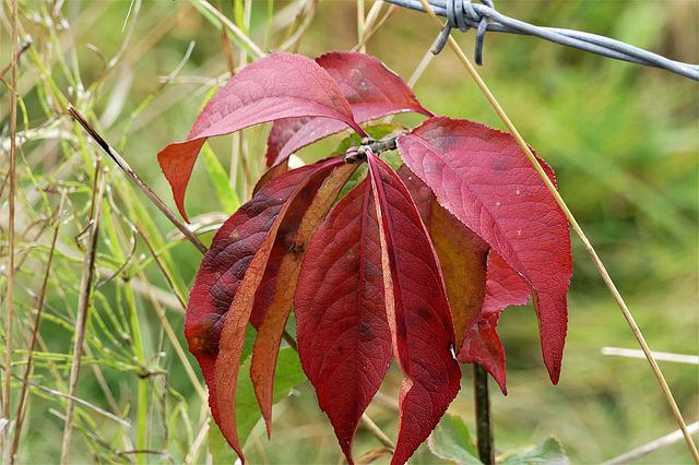Fall Leaves, Red, Fall Color, Autumn, Leaves
