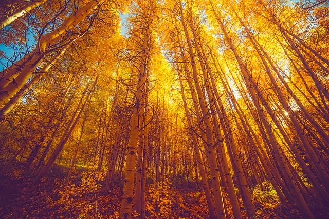 Autumn, Fall, Foliage, Colorado, Aspens, Forest, Trees