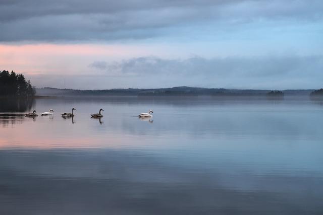 Swan, Nature, Peace, Autumn, Finnish, Summer House