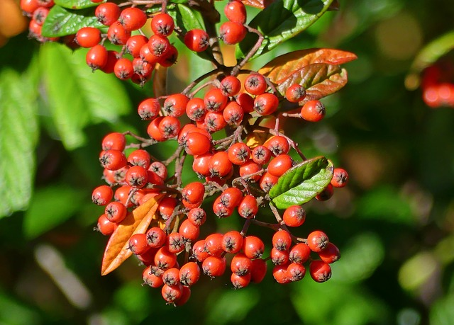 Firethorn, Berries, Bush, Plant, Rowanberries, Autumn