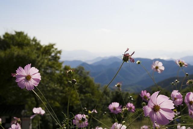 Milyang, Cosmos, Nature, Landscape, Flowers, Autumn