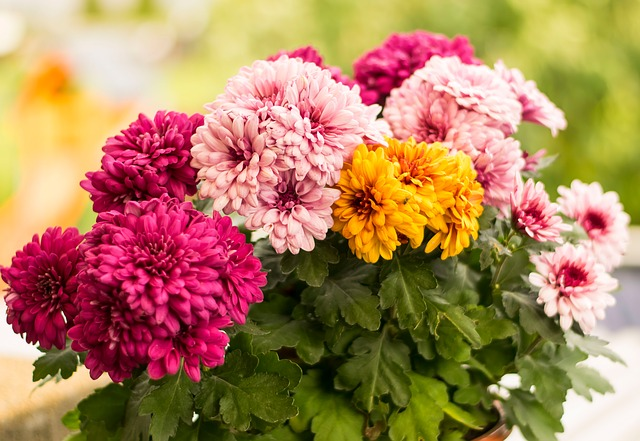 Flowers, Colorful, Autumn, Herbstastern