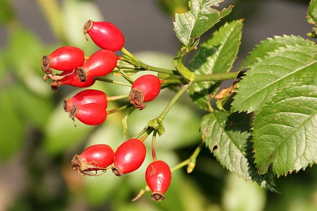 Rose Hip, Red, Wild Rose, Autumn, Bush, Autumn Fruits
