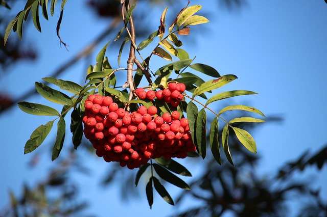 Mountain Ash, Rowan, Red, Sky, Autumn, Fruits