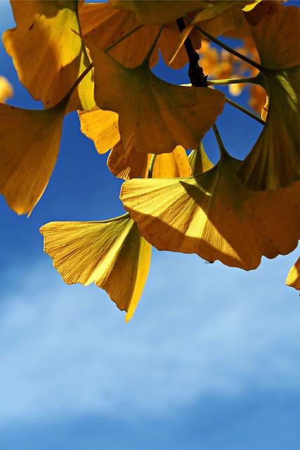 Ginko, Ginko Tree, Ornamental Tree, Garden, Autumn