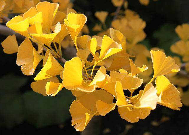 Ginkgo Biloba, Autumn, Macro, Golden, Tree