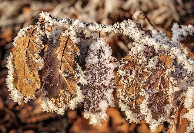 Nature, Autumn, Winter, Oak, Oak Leaf, Dry, Hoarfrost