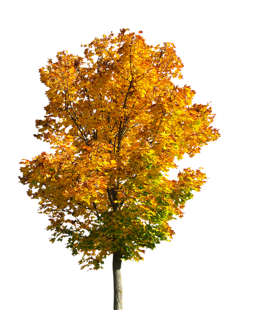 Nature, Tree, Autumn, Leaves, Fall Foliage, Isolated
