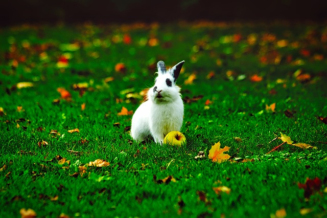 Rabbit, Bunny, Animal, Apple, Yard, Lawn, Fall, Autumn