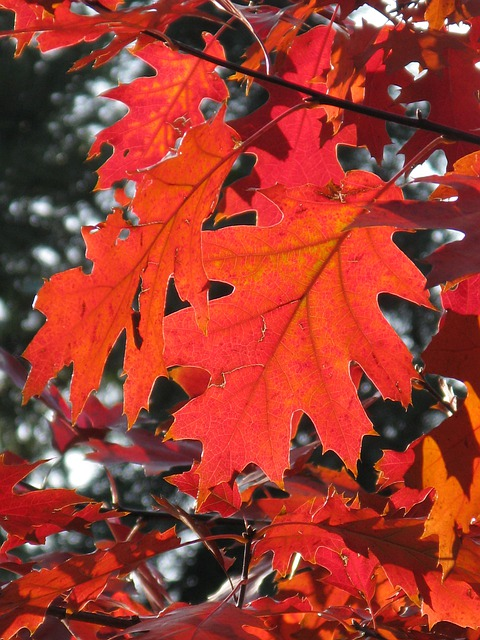 Leaf, Fall Foliage, Autumn, Leaves, Forest, Red