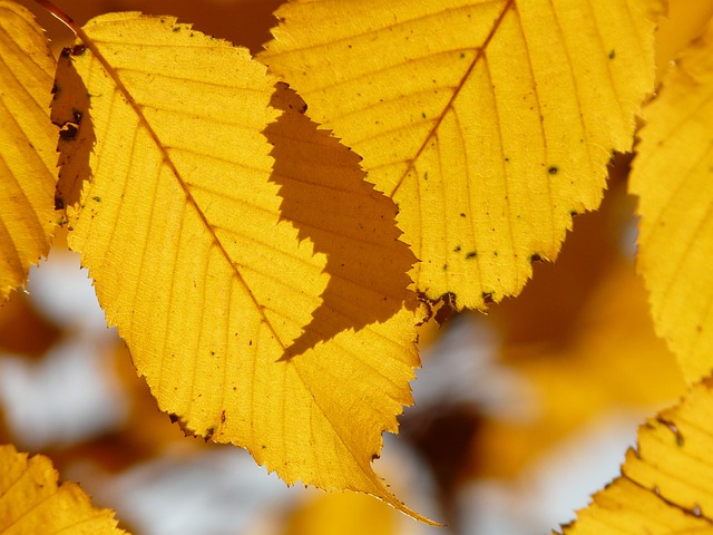 Leaf, Leaves, Autumn, Hornbeam, Carpinus Betulus