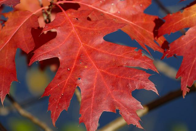 Macro, Autumn Leaf, Sessile Oak, Autumn Colours, Leaf