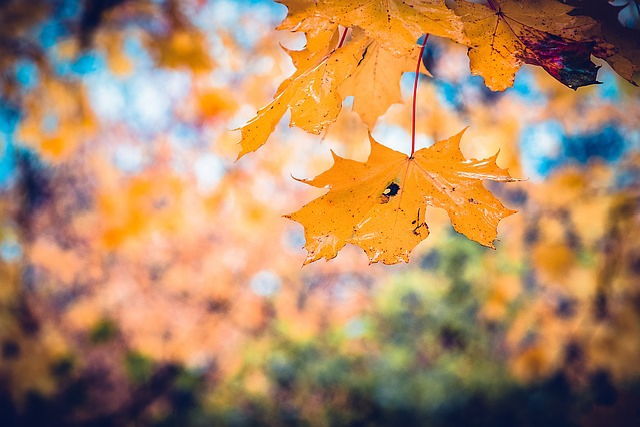 Autumn, Leaves, Fall, Red, Leaf, Nature, Autumn Leaves