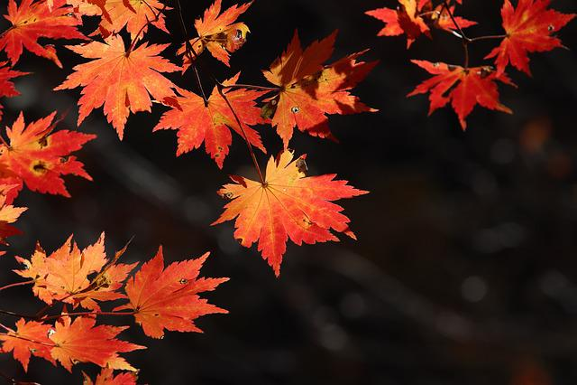 Autumn Leaves, Maple, The Leaves, Nature, Leaf, Autumn