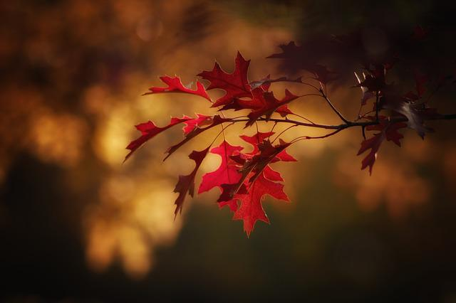 Maple Leaves, Leaves, Fall Color, Autumn, Colorful
