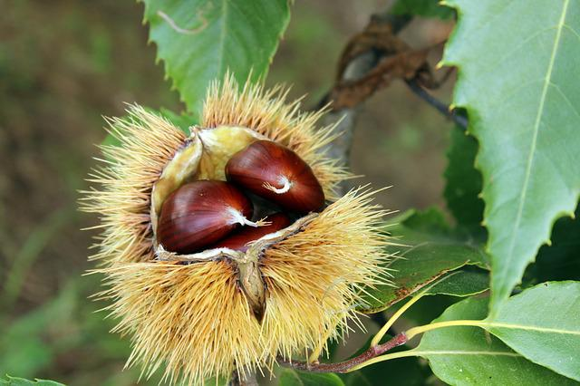 Chestnut, Curly, Autumn, Chestnuts, Nature, Leaves