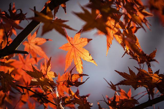 Autumn Leaves, Maple, Nature, Red, Fall, Leaves, Tree