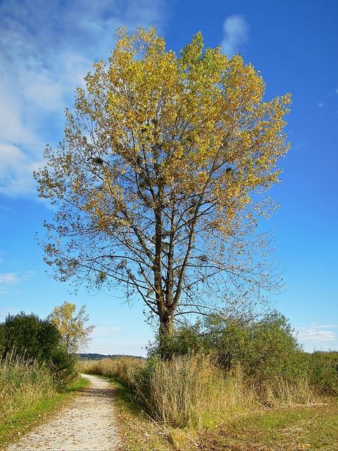 Tree, Autumn, Golden, Leaves, Mistletoe, Blue, Sky