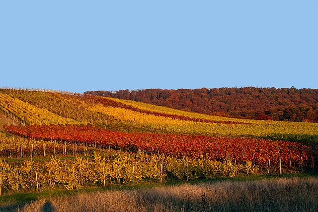 Autumn, Vineyard, Autumn Mood, Fall Color
