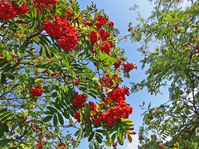 Mountain Ash, Tree, Berries, Rowan, Ash, Autumn
