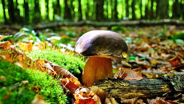 Mushroom, Porcini Mushrooms, Autumn