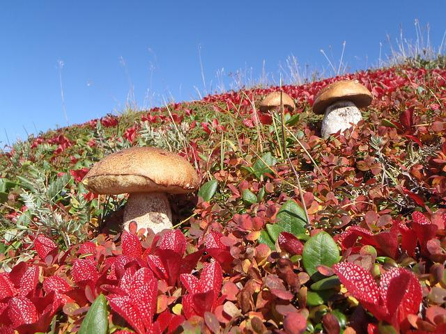 Mountain Tundra, Mushrooms, Autumn, Nature