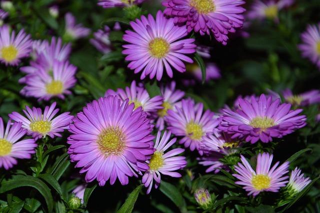 Asters, Herbstastern, Garden, Autumn, Pink, Nature