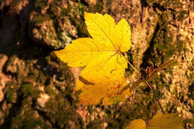Leaf, Autumn, Yellow, Nature, Fall Color