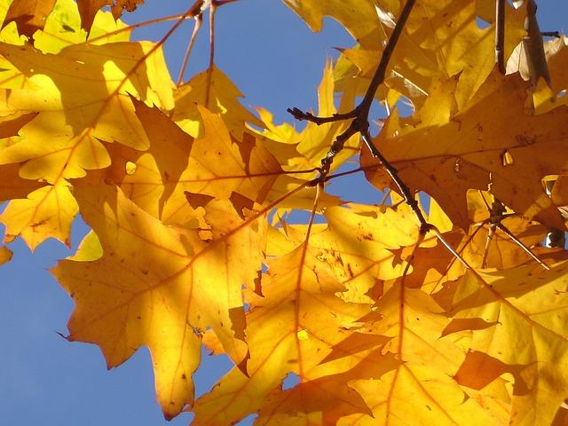 Red Oak, Oak Leaves, Autumn, Leaves, Golden, Yellow