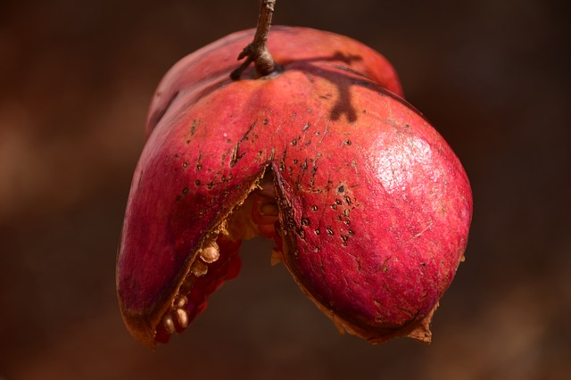 Pomegranate, Autumn, Red, Old, Ripe, Over Ripe