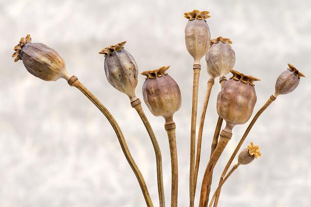 Poppy, Poppy-capsules, Dry, Flowers, Autumn