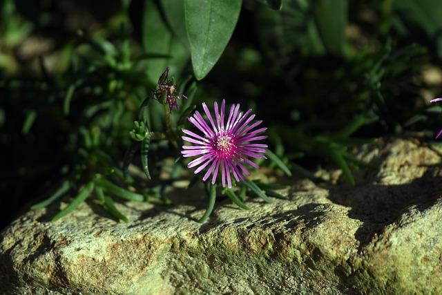 Flowers, Pine Country, Rock, Autumn, Purple