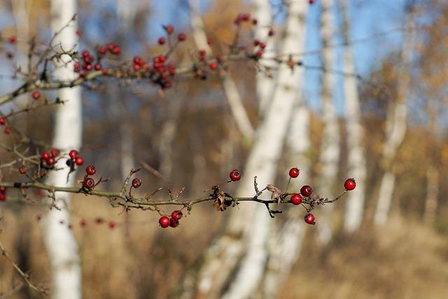Sprig, Crataegus, Red, Autumn, Birch, Nature