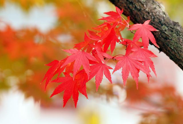 Red Leaves, Maple, Autumn